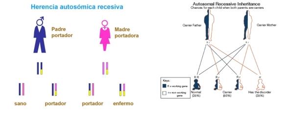 herencia-autosomica-recesiva-pku